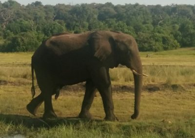 Elephant at Chobe