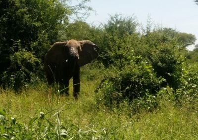 Elephant at Zambezi River