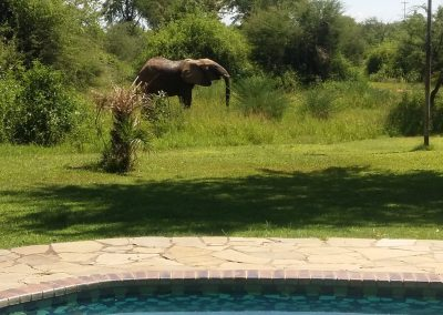 Elephant near the Pool