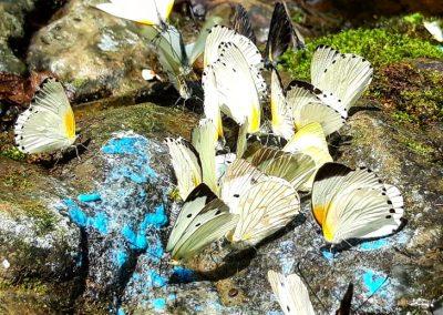Butterflyies