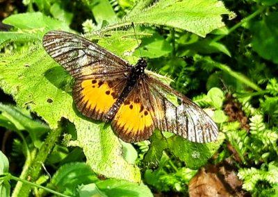 Bwindi Butterfly