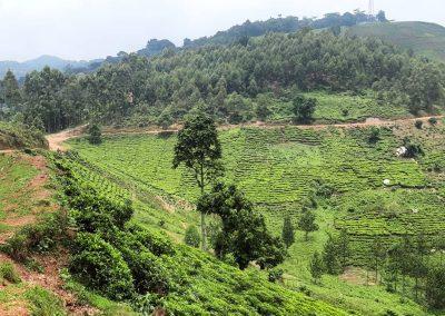 Bwindi Tea State