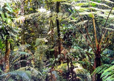 Bwindi Tree ferns