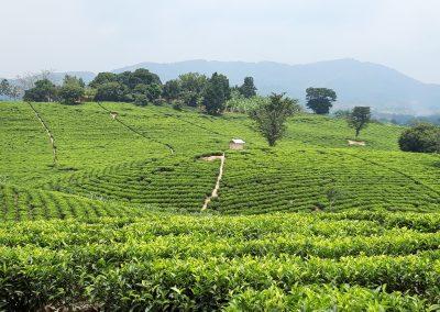 Kiko Tea State