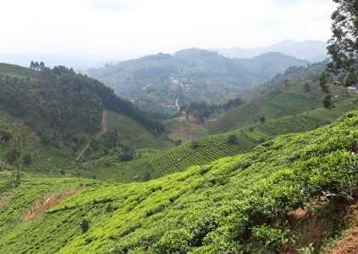 Tea Plantations Bwindi