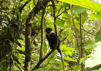White tail Monkey